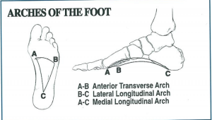 Figure 3. Arches of the foot.