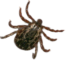 Lyme Disease from Ticks in Winchester Virginia